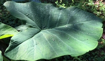 Dew beads Superhydrophobically Kalo Taro leaf - Colocasia esculenta