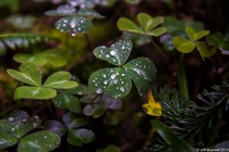 Dew-covered clovers in Redwood National Park California