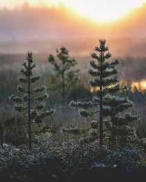 Dewy sunrise in Finnish Lapland