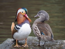 Differences between a male and female Mandarin Duck