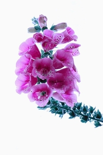 Digitalis purpurea or Foxglove
