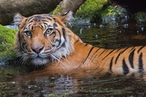 Disturbed Bath - Tiger Panthera tigris