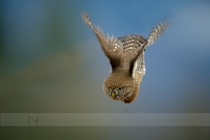 Diving Owl northern pygmy owl by Norman Ng