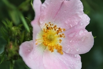 dog rose simple and beauty