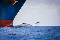 Dolphin Jumping Container Ship Wake - by Richard Steinberger