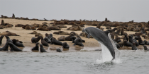 Dolphin jumps for an audience of seals