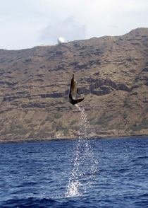 Dolphins can fly Spotted dolphin- Stenella attenuata  op Western coast of Oahu