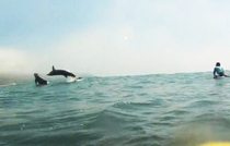 Dolphins Tursiops taught me how to surf