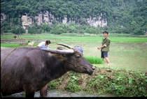 Domestic Asian Water Buffalo Bubalus bubalis near Yangshuo China by Willard Losinger