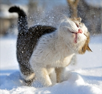 Domestic cat felis silvestris catus shaking off snow
