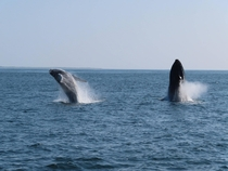Double Breach Humpback Whales