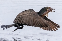 Double-created cormorant with a gar for lunch