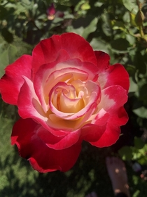 Double delight rose - most fragrant rose Ive ever smelled Christchurch NZ