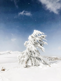 Douglas Fir after a  snow-storm Wasatch Mountains UT