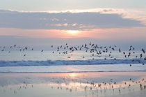 Dowitchers in flight at sunrise on Plum Island Massachusetts OC x