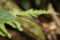Dragonfly in Northern Laos