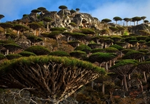 Dragons blood forest Socotra Island Yemen Photo Mark W Moffett
