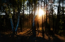 Dramatic light ray in Russian birch forest