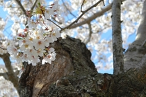 Dreamy cherry blossoms on an old gnarled tree - Washington DC