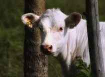 Dreamy cow