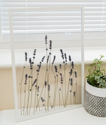 Dried Lavender Lavendula in a double glass sided frame
