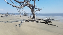 Driftwood Beach at low tide Jekyll Island Ga