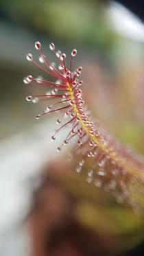 Drosera at x