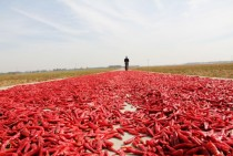 Drying chilies  Neihuang County central China