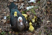 Duck aka Anatidae Anseriformes and its ducklings