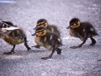 Ducklings crossing the street