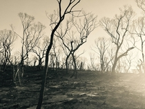Dunedoo bushy ridge six weeks after bushfire scorched the land BW photo  x