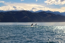 Dusky dolphins Lagenorhynchus obscurus leaping off the coast of Kaikoura New Zealand
