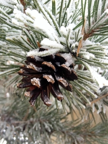 Dusting of fresh autumn snow on a ponderosa pine cone Colorado