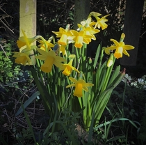 Dwarf Daffodils  small but perfectly formed Beauty in miniature