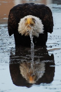 Eagle drinking water with look of consternation