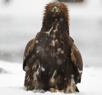 eagle overate salmon but still refuse to leave the remains