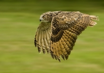 Eagle Owl panning by Ronald Coulter