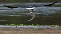Eagle Snatches Crocodile From Riverbank