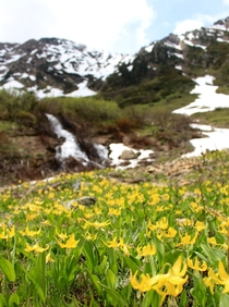 Early emergence of Glacier Lilies Erythronium grandiflorum outside Glacier National Park