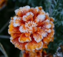 Early morning frost covering a marigold