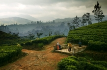 Early morning mist over Tea plantations on Sri Lanka