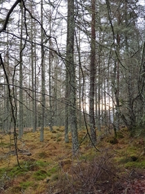 Early sun peaking through the mossy pine Highlands Scotland