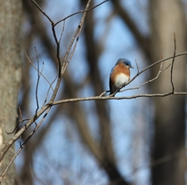 Eastern bluebird on a very blue winter day