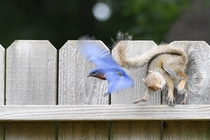 Eastern Bluebirds really dislike squirrels near their nesting box Its a Thunderdome every day
