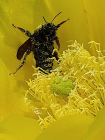 Eastern carpernter bee pollinating a prickly pear Look at all that pollen