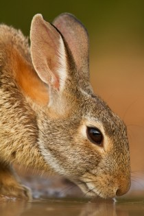 Eastern cottontail by Seth Patterson