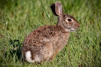 Eastern cottontail Wellington environmental preserve