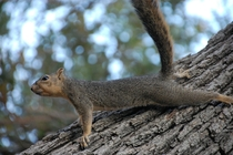 Eastern Fox Squirrel Sciurus niger
