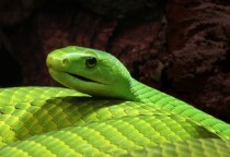 Eastern green mamba Dendroaspis angusticeps