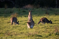 Eastern Grey Kangaroo with Joey Macropus giganteus